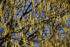 Hassel træ allergi pollen sæson