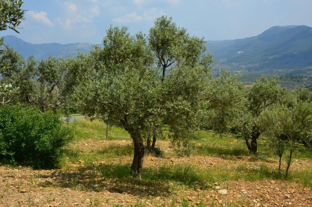 Oliven Oliventræ