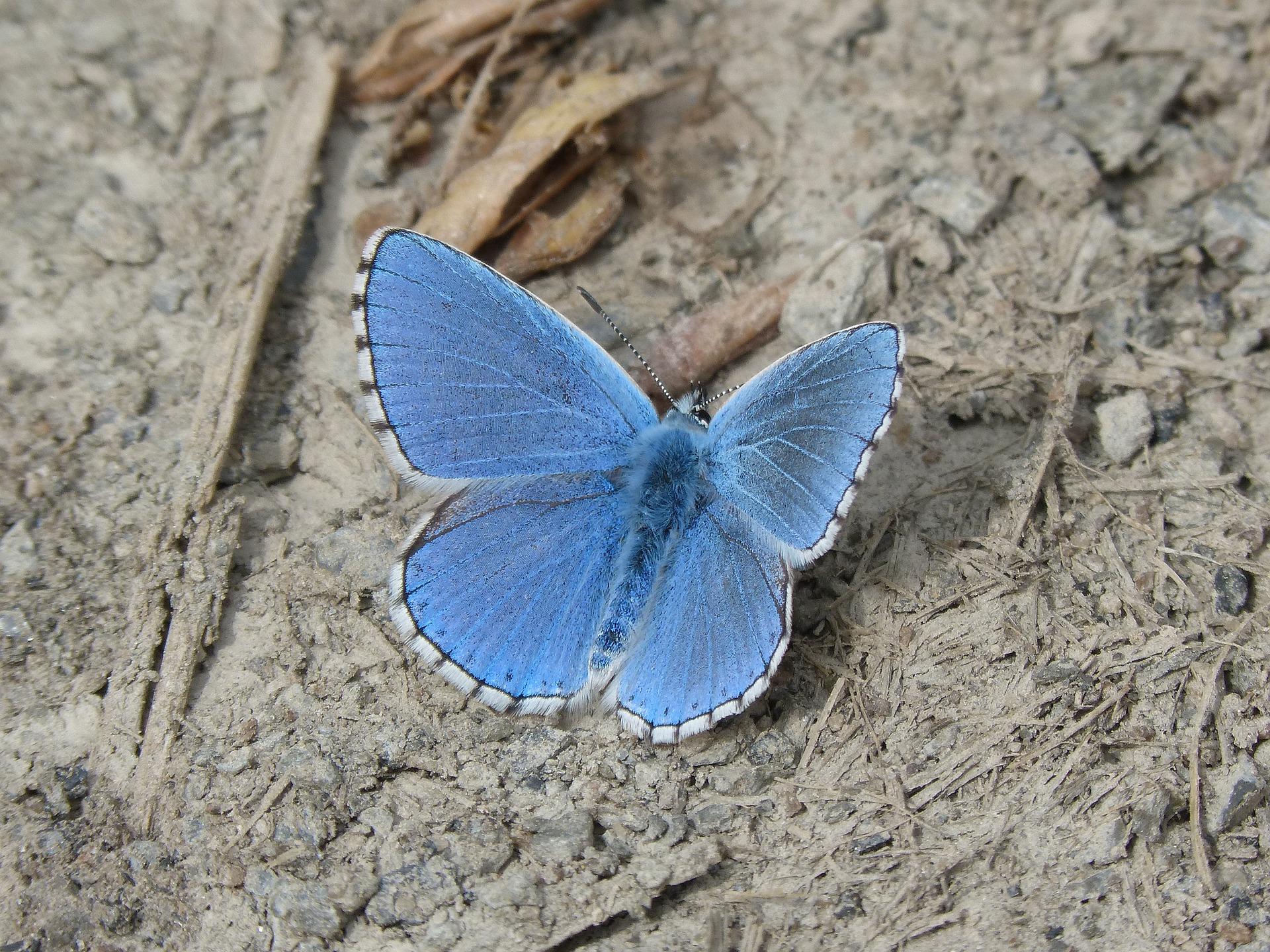 blå sommerfugl natur